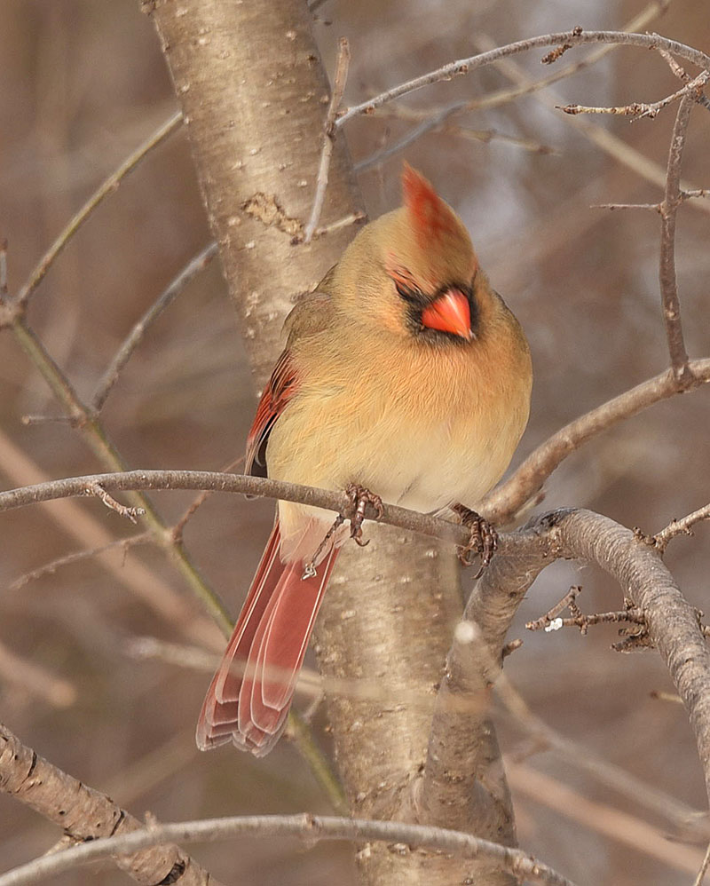 Winter Female Cardinals
