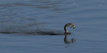 cormorant-with-eel-2