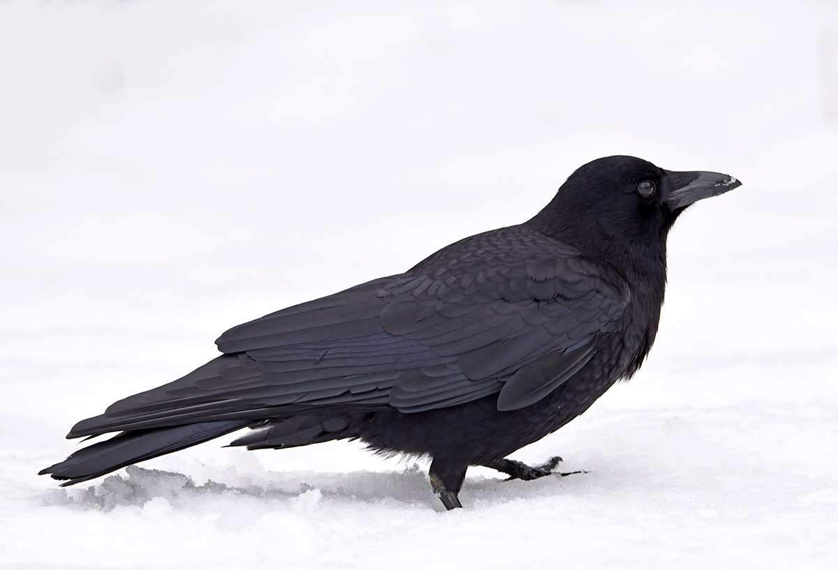 Photographing a Black Bird on White Snow