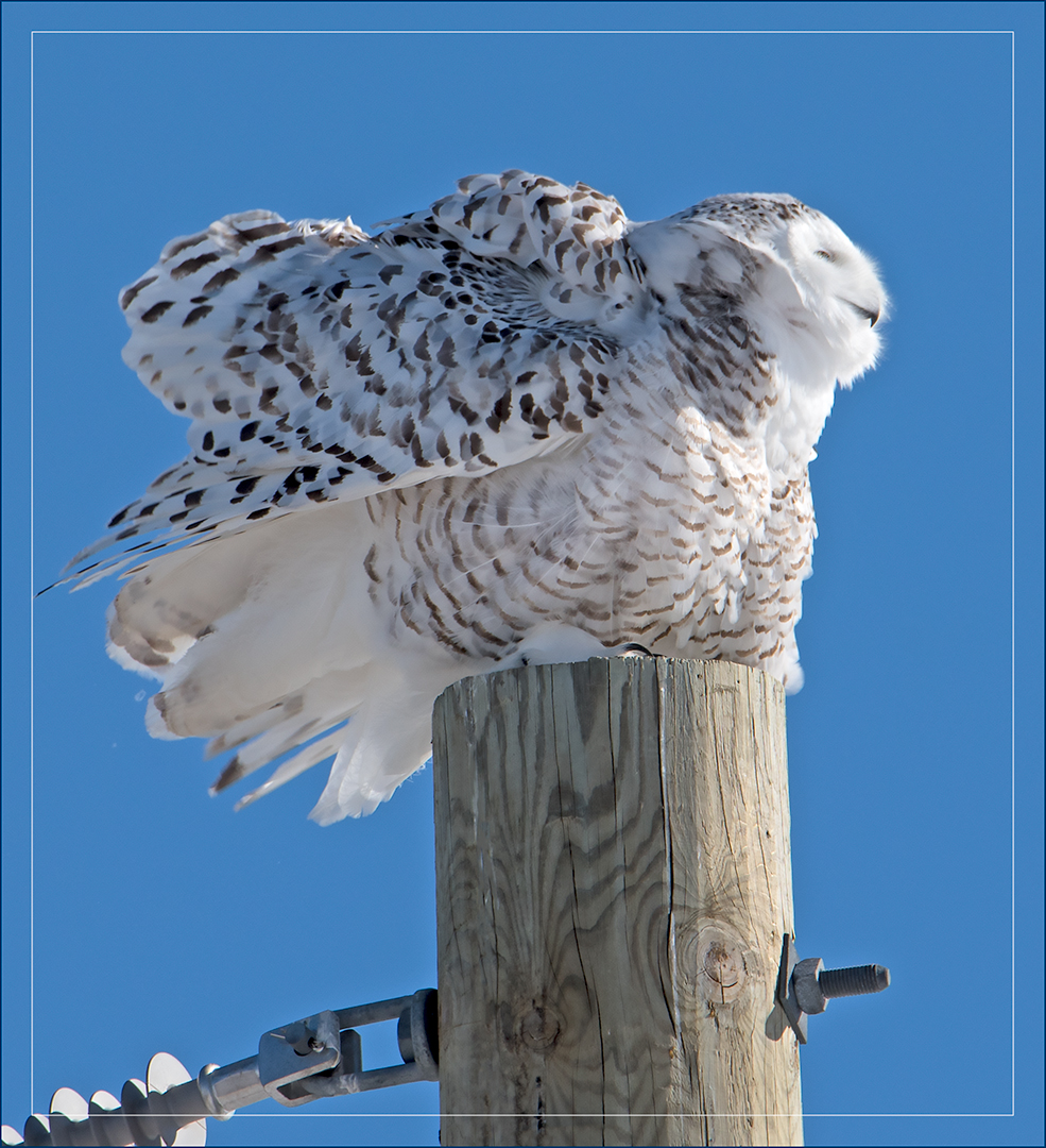 Cruising Around Ontario, Canada Looking for Snowy Owls