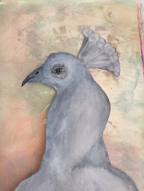 adult-peacock-copyright-carolyn-abramofsky