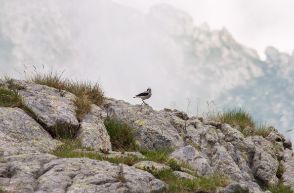 Traquet Motteux (Oenanthe oenanthe)