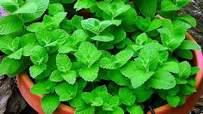 mint-plant-4