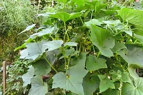 cucumber-plant2