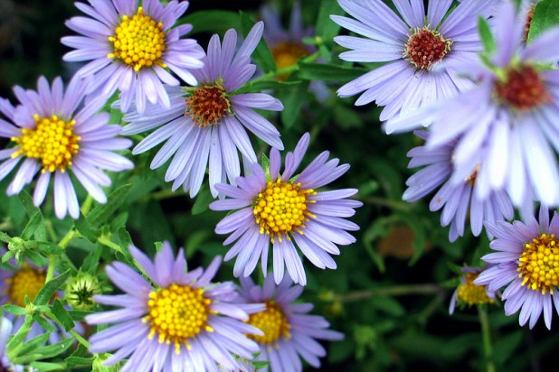 aromatic-aster