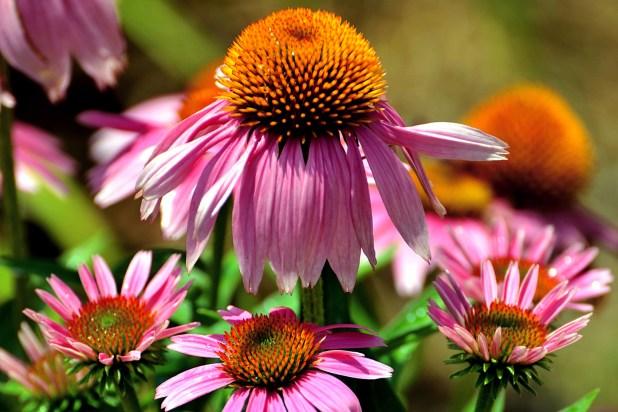 coan flowers (8 perennials)