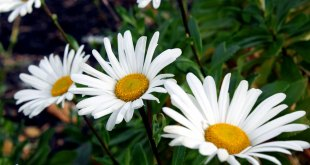 Simple steps of planting and care of  Montauk Daisies | Nature Bring