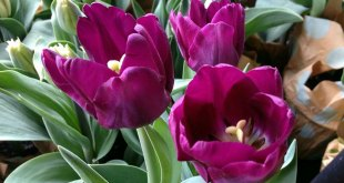 How to grow and care for Tulips | Plant Tulip bulb