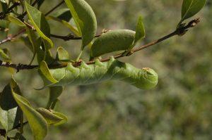 Great Ash Sphinx Larva