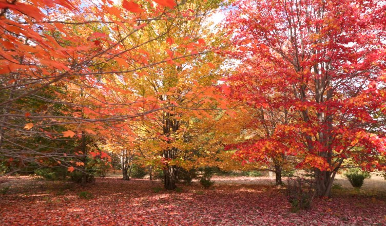red_maples