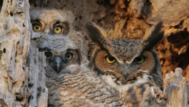 great-horned-owl-family_cropped_image_by_paul_rossi