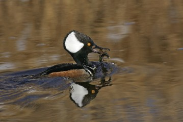 male-hooded-merganser-with-crayfish_reduced