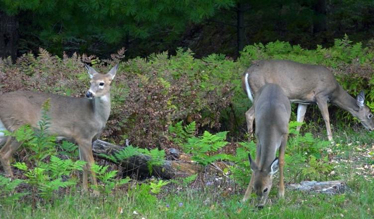 Three_Deer