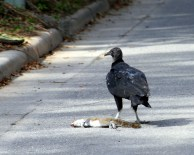 Black Vulture - note black head and white legs.