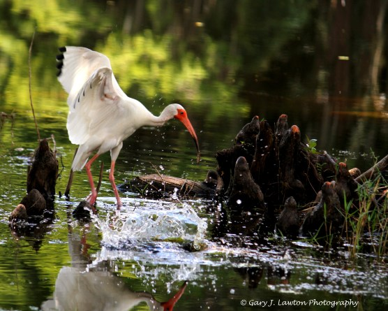 Ibis Flapping