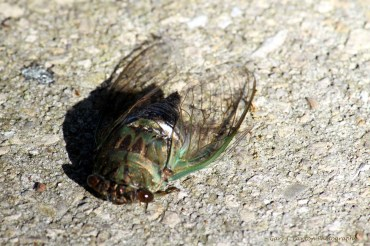 The annual cicada appears every year and has a green hue to it.