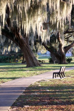 Spanish Moss in Old Trees