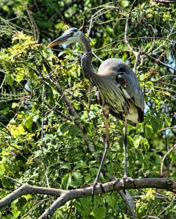 Great Blue Heron in Bush