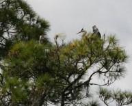 Great Blue Heron Nest 2