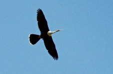 Anhingas frequently soar high above the ground.
