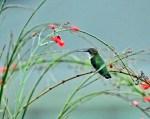 Hummingbird Perched3