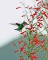 Hummingbird Sipping Firecracker Bush