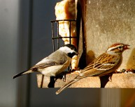 Chipping Sparrow and Chickadee at Feeder