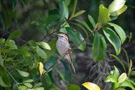 Chipping Sparrow in Tree