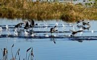 Coots run on the water to become airborne.
