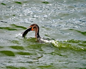 Cormorant grabbing more than it can swallow.
