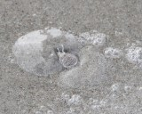 Sand Flea Burying