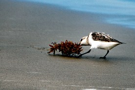 Sanderling and Wrack P