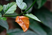 Autumn Leaf Butterfly 3