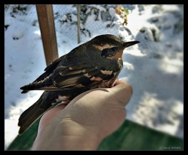 Varied Thrush: Ready for release