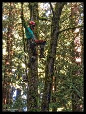 Tree cutter acrobatics while limbing a double trunk bigleaf maple