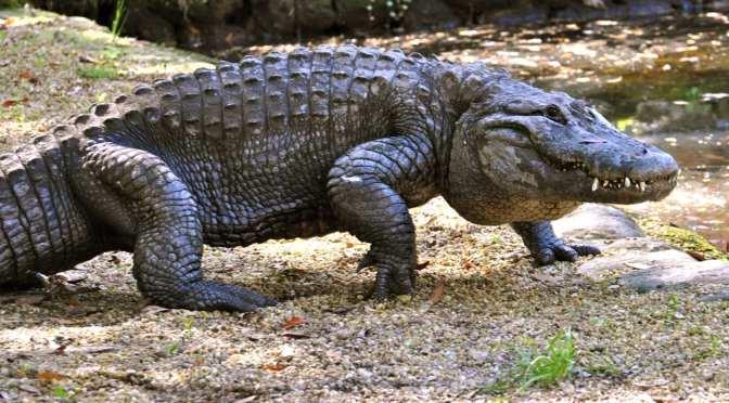 Wildlife Park features Alligators in February