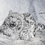 Snow leopard (Panthera uncia) complete detail – updated