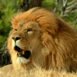 State animal of Gujarat (Asiatic Lion) complete detail- updated