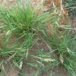 Description of Schismus barbatus (Mediterranean grass)