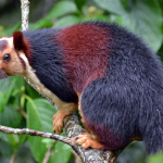 State animal of Maharashtra (Indian giant squirrel) – complete detail