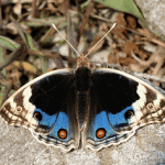 Blue pansy (Junonia orithya) complete detail – updated