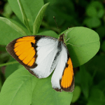 Description of White orange tip butterfly – Ixias marianne