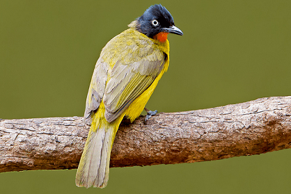 State Bird Of Goa Flame Throated Bulbul Complete Detail
