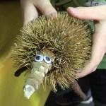 kids-nature-craft-echidna-banksia-seedpod-critter