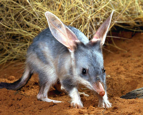 Australian-bilby