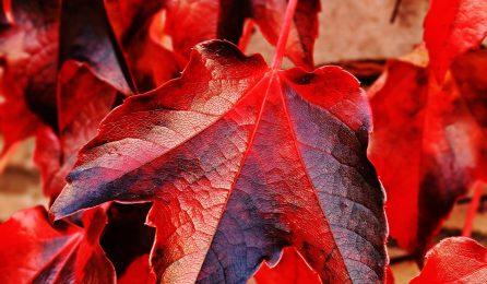 La vigne rouge pour lutter contre une mauvaise circulation sanguine