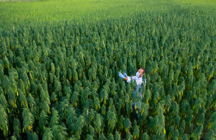 Farmer in Hemp Field inspecting his plants