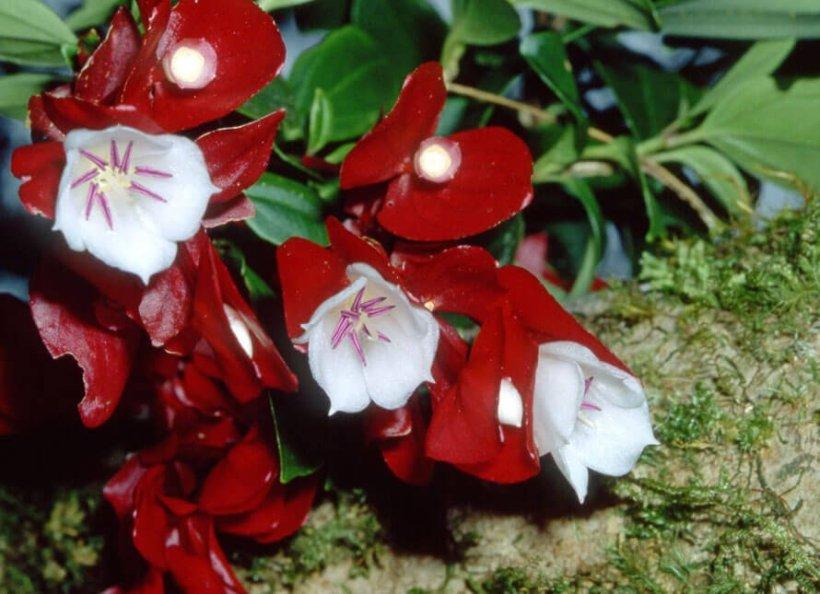 Tagimaucia (Medinilla waterhousei)