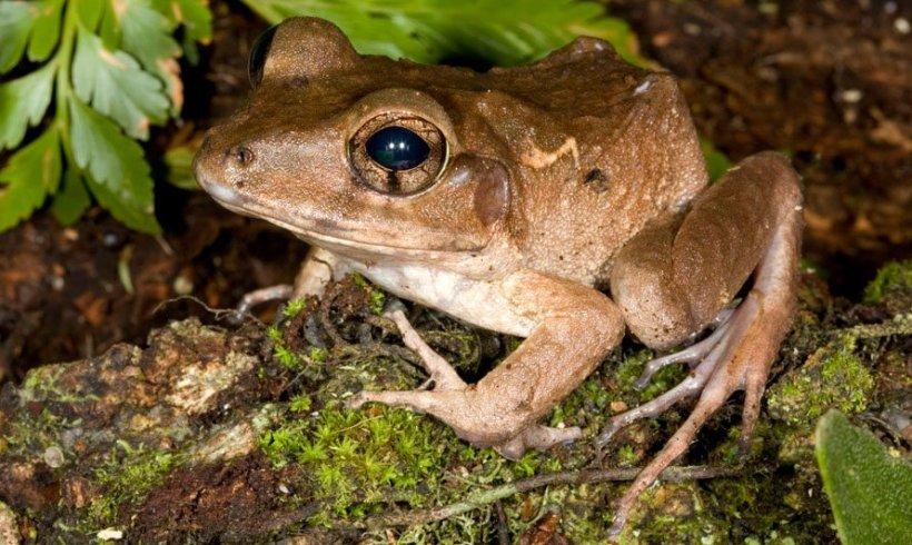 Fijian ground frog (Platymantis vitianus)