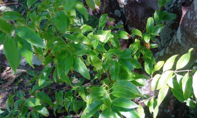 Sandalwood (Santalum yasi)